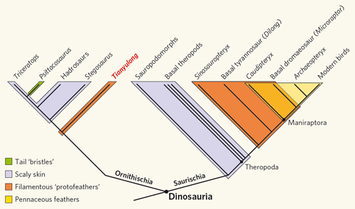 Distribution of feathers among dinosaur taxa